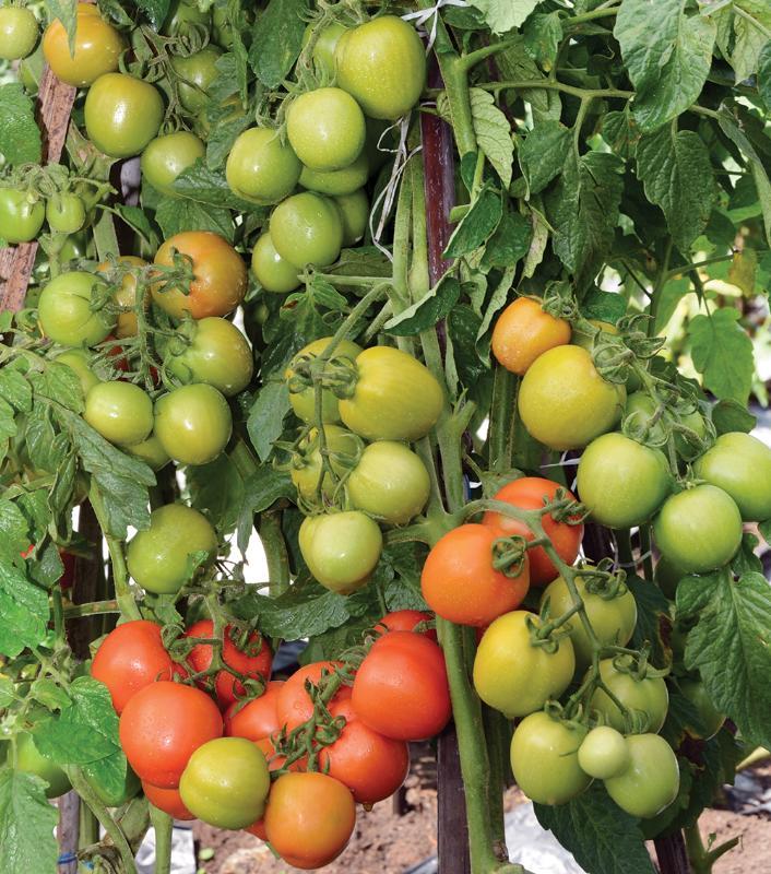 Benih, Bibit, Hibrida, Tomat Servo, Harga Murah, Toko pertanian, Online, Sarana Lengkap